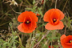 Two beautiful poppies. Close up picture of two poppies growing wild in a field Royalty Free Stock Photo