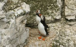 Two beautiful Puffin Fratercula arctica standing on the cliff edge in the UK. royalty free stock photos