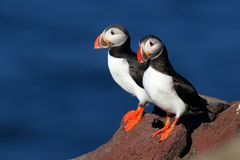 Two puffins on a iceland cliff. Two beautiful puffins on an iceland cliff Stock Image