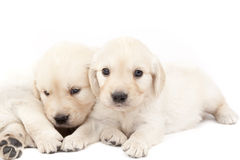 Two beautiful puppies Royalty Free Stock Photos