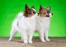 Two beautiful puppies Papillon Stock Photography