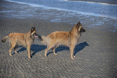 Two beautiful purebred dogs standing on sand beach. And looking to the sea Royalty Free Stock Image