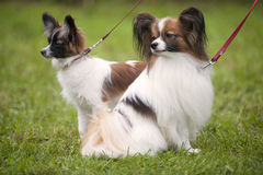 Two beautiful purebred Papillon, puppy and adult animal together royalty free stock image