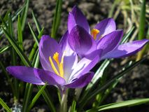 Two blooming botanical purple crocus close-up royalty free stock photos