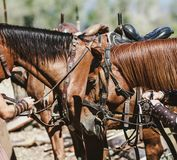 Two red horses in leather harness stand side by side. Two beautiful red horses harnessed with leather ammunition stand next summer day stock photo