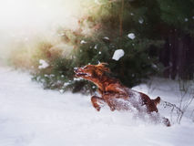 Two beautiful red irish setters running fast in forest in sunny winter day Royalty Free Stock Photo