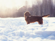 Two beautiful red irish setters running fast in forest in sunny winter day Royalty Free Stock Image