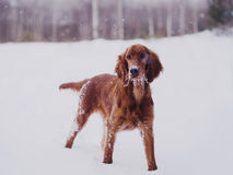 Two beautiful red irish setters running fast in forest in sunny winter day Stock Photos