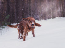Two beautiful red irish setters running fast in forest in sunny winter day Royalty Free Stock Images