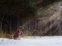 Two beautiful red irish setters running fast in forest in sunny winter day Royalty Free Stock Photos