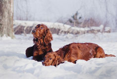 Two beautiful red irish setters running fast in forest in sunny winter day Stock Images