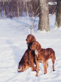 Two beautiful red irish setters running fast in forest in sunny winter day Stock Photography