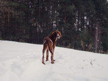 Two beautiful red irish setters running fast in forest in sunny winter day Stock Photo