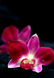 Two beautiful red orchids with drops of water. Against black velvet , SHALLOW dof. Focus is on water drops Stock Photo