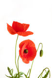 Two Beautiful Red Poppies Royalty Free Stock Images