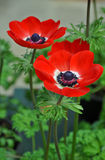 Two beautiful red poppies Stock Photo