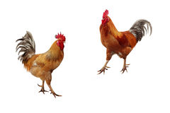 Two beautiful red rooster on a white  background Stock Photo