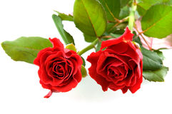 Two beautiful red roses. Two red roses isolated on white background Royalty Free Stock Photos