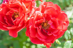Two beautiful red roses Stock Images
