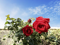 Two Beautiful red Roses and the morning blue sky. Stock Photography
