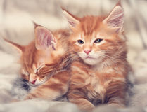 Two beautiful red solid maine coon kittens covered in warm blank. Et and wanting to sleep. Soft toned color portrait. Closeup Royalty Free Stock Photography