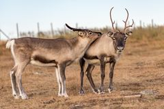Two reindeer Stock Images