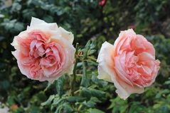 Two beautiful roses in the garden royalty free stock photo