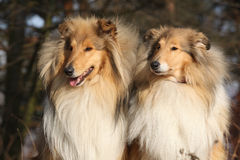 Two beautiful scotch collies in the forest Royalty Free Stock Photos