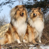 Two beautiful scotch collies in the forest Royalty Free Stock Image
