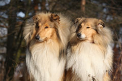 Two beautiful scotch collies in the forest Royalty Free Stock Photo