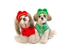 Two beautiful shih-tzu puppies smiling in winter clothes stock photos