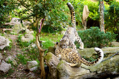 Two beautiful sibling snow leopards playing together