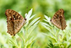 Two beautiful spotted butterflies relax on a plant Royalty Free Stock Photo