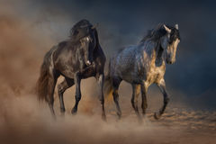 Two beautiful stallion dressage piaffe Stock Photos