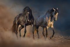 Two beautiful stallion dressage piaffe Stock Photos