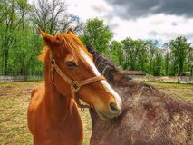 Two Horses Hugging Each Other royalty free stock photos