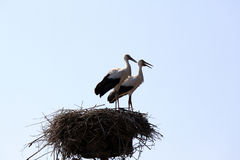 Two beautiful storks in nest on a background of blue sky Stock Photos