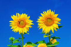 Two beautiful sunflowers and blue sky Royalty Free Stock Photos