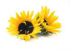 Two beautiful sunflowers on a white background Stock Image
