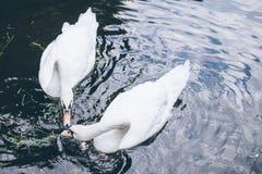 Two beautiful swan in lake Stock Image