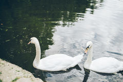 Two beautiful swan in lake Stock Photo