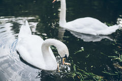 Two beautiful swan in lake Royalty Free Stock Photography
