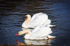 Two beautiful swans Stock Images