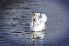 Two beautiful swans Royalty Free Stock Photography