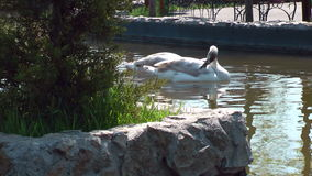 Two beautiful swans. Beauty swans like to swimming stock video footage