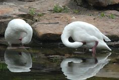 Two beautiful swans in the Berlin Zoo in Germany Royalty Free Stock Images