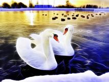 Two beautiful swans in a lake at sunset Stock Photos