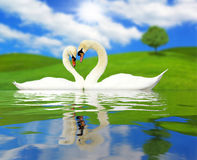 Two beautiful swans in love. With necks forming the shape of a love heart, countryside Valentine scene Stock Photography
