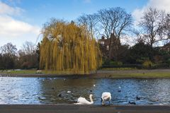 Free Two Beautiful Swans On The Lake In Regent`s Park On A Sunny Day In Spring Royalty Free Stock Photos - 139638248
