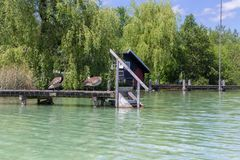 Two beautiful swans playing on a wooden pier on a sunny day. Green landscape with water plants in the background. aken from Kayak royalty free stock image